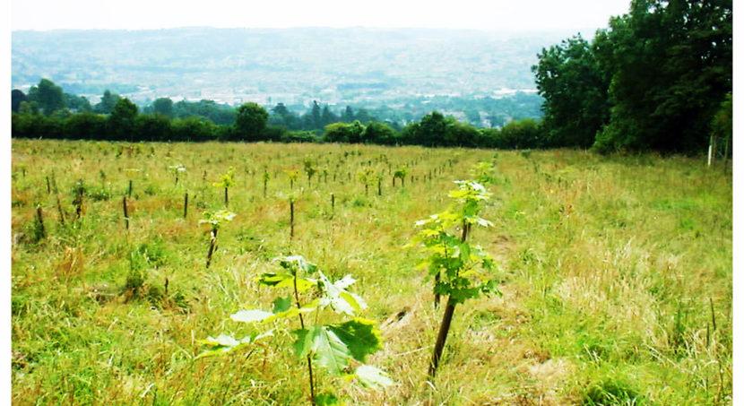 Saplings in Primrosehill Woodland