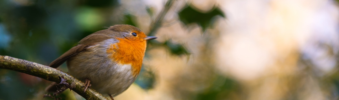 Red Robin in the Woods